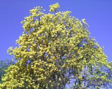 Araguaney en Mayo y un Cielo Despejado