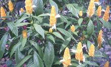 Como unos tamarindos (Pachystachys Lutea)