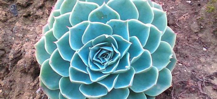 """Una planta conocida como """"repollito"""" que muestra diseño fractal"""